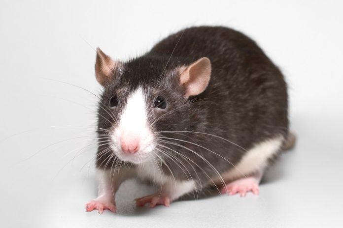 Các loại thuốc diệt chuột phổ biển