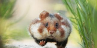 Một số loài chuột phổ biến ở việt nam hiện nay